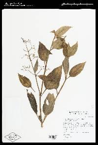 Aciotis rubricaulis image