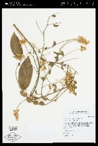 Securidaca diversifolia image