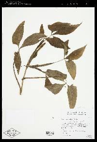 Syngonium wendlandii image