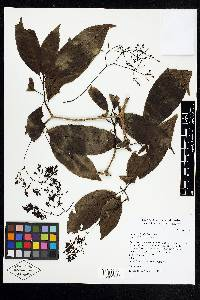 Neea amplifolia image