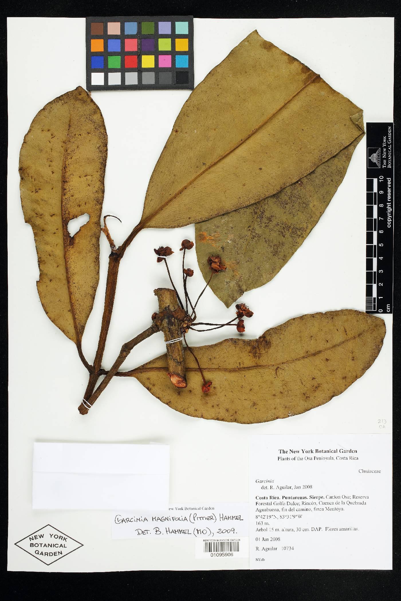 Garcinia magnifolia image