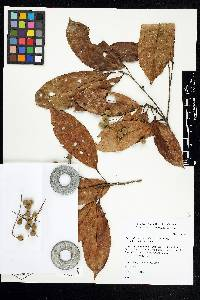 Pleuranthodendron lindenii image