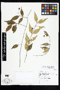 Calyptranthes hylobates image