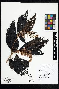 Miconia multispicata image