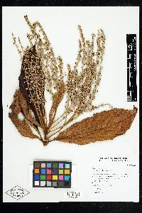Clethra mexicana image
