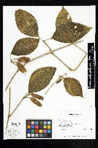 Image of Mendoncia tonduzii