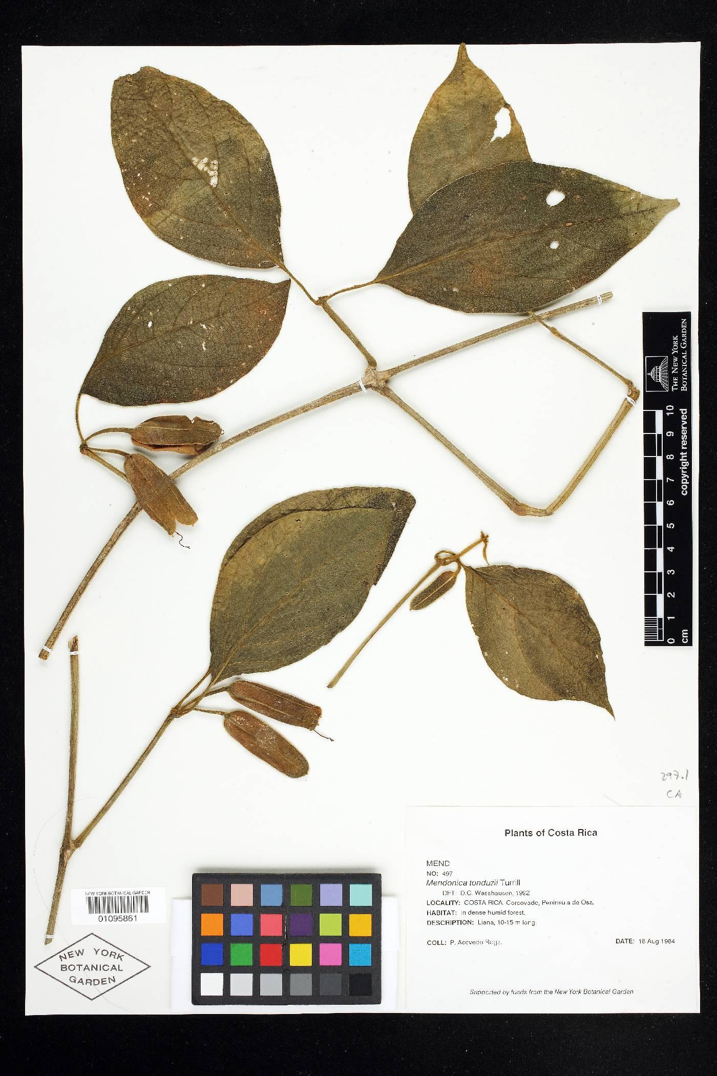 Mendoncia tonduzii image