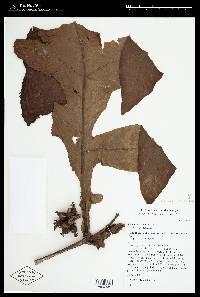 Pentagonia tinajita image