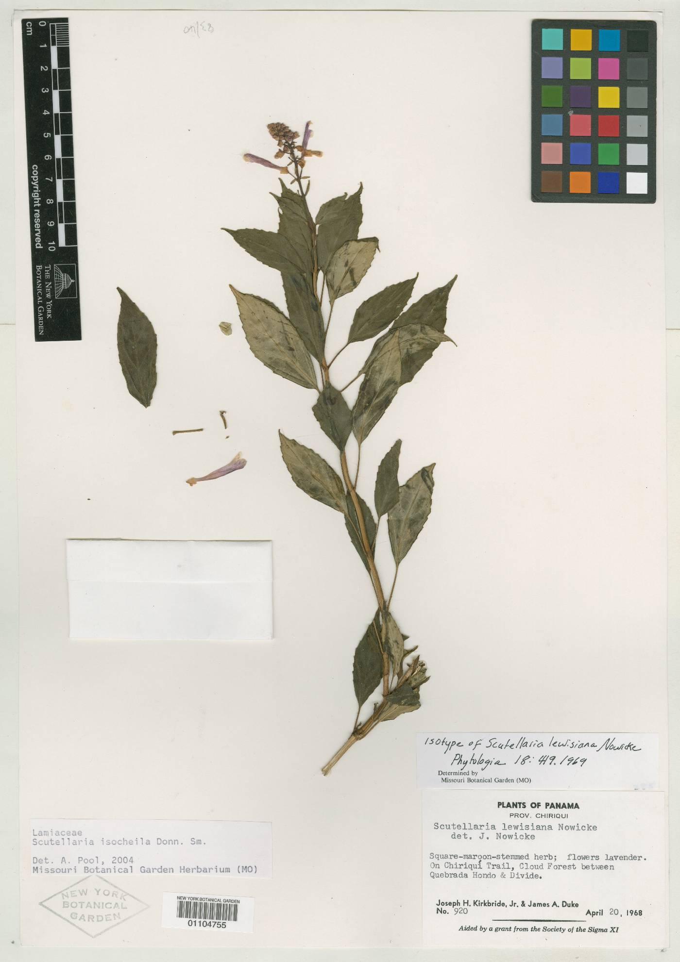 Scutellaria lewisiana image