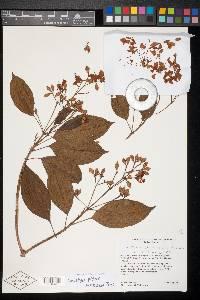 Conostegia chiriquensis image