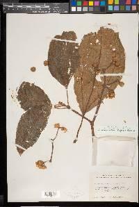 Conostegia macrantha image
