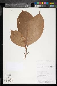 Conostegia lasiopoda image