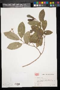 Conostegia polyandra image