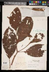 Conostegia setifera image