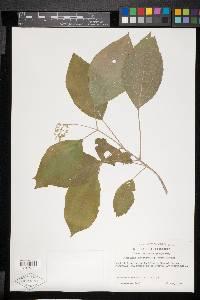 Conostegia subcrustulata image