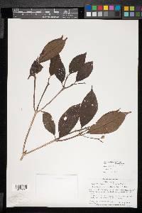 Image of Conostegia tenuifolia
