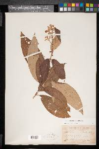 Conostegia xalapensis image
