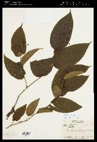 Clidemia pittieri image