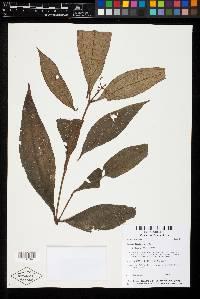 Miconia ligulata image