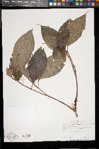 Clidemia ombrophila image