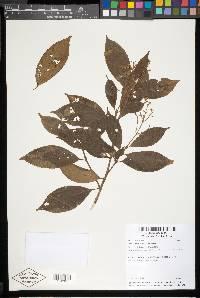 Conostegia montana image