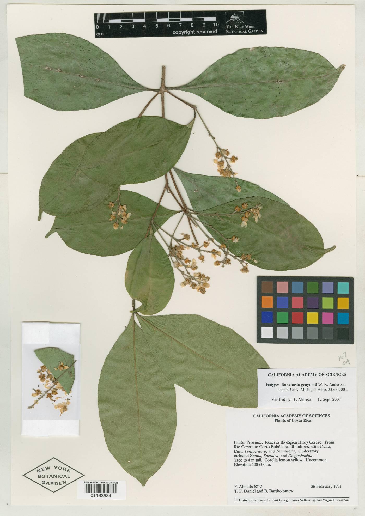 Bunchosia grayumii image