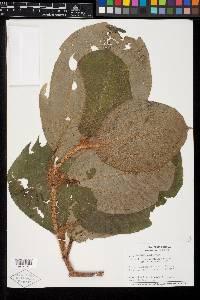 Image of Clidemia taurina