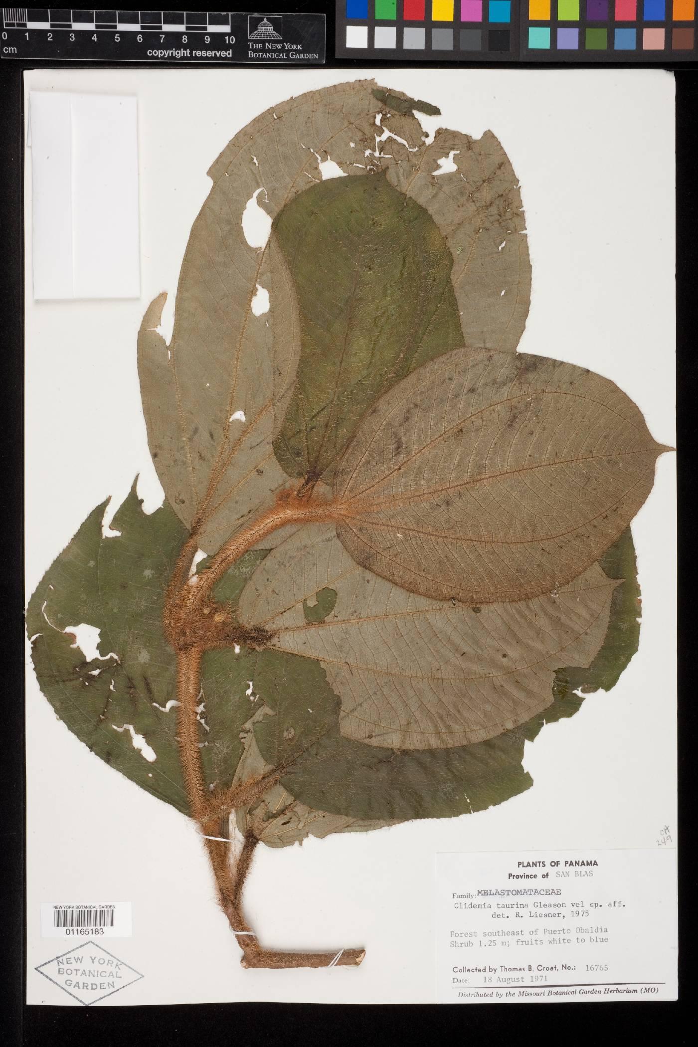 Clidemia taurina image