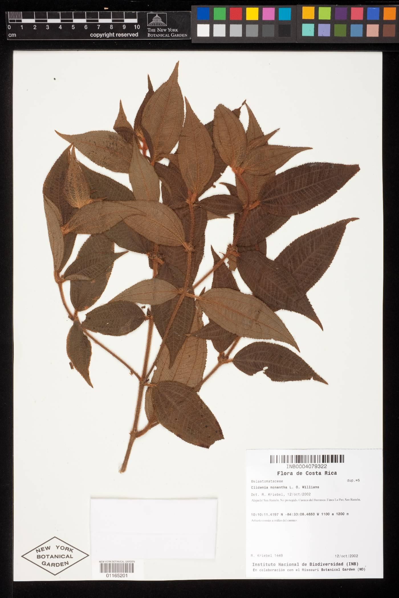 Clidemia monantha image