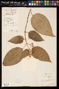 Clidemia novemnervia image