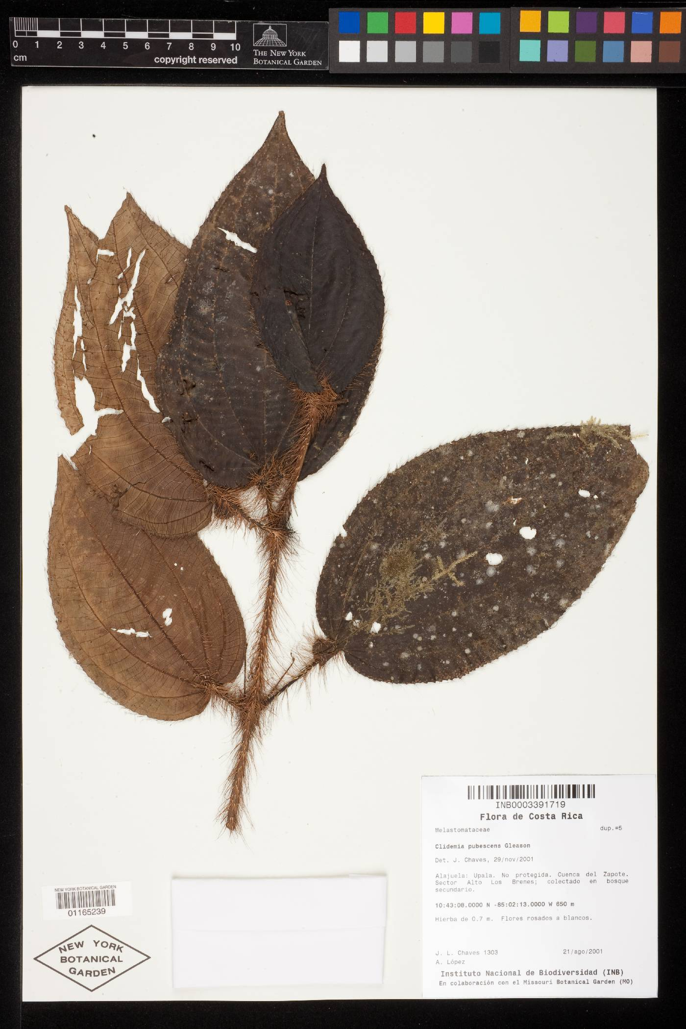 Clidemia pubescens image