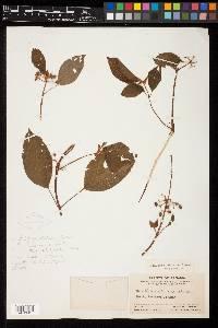 Clidemia petiolaris image