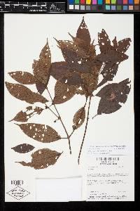 Clidemia sessiliflora image