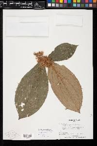 Image of Clidemia setosa