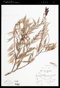 Image of Cavendishia melastomoides
