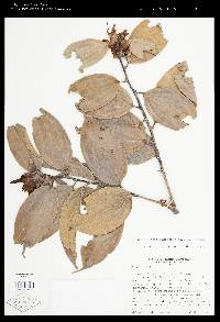 Image of Cavendishia pubescens