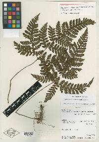 Triplophyllum chocoense image
