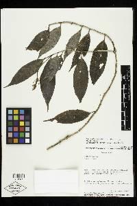 Burmeistera tenuiflora image