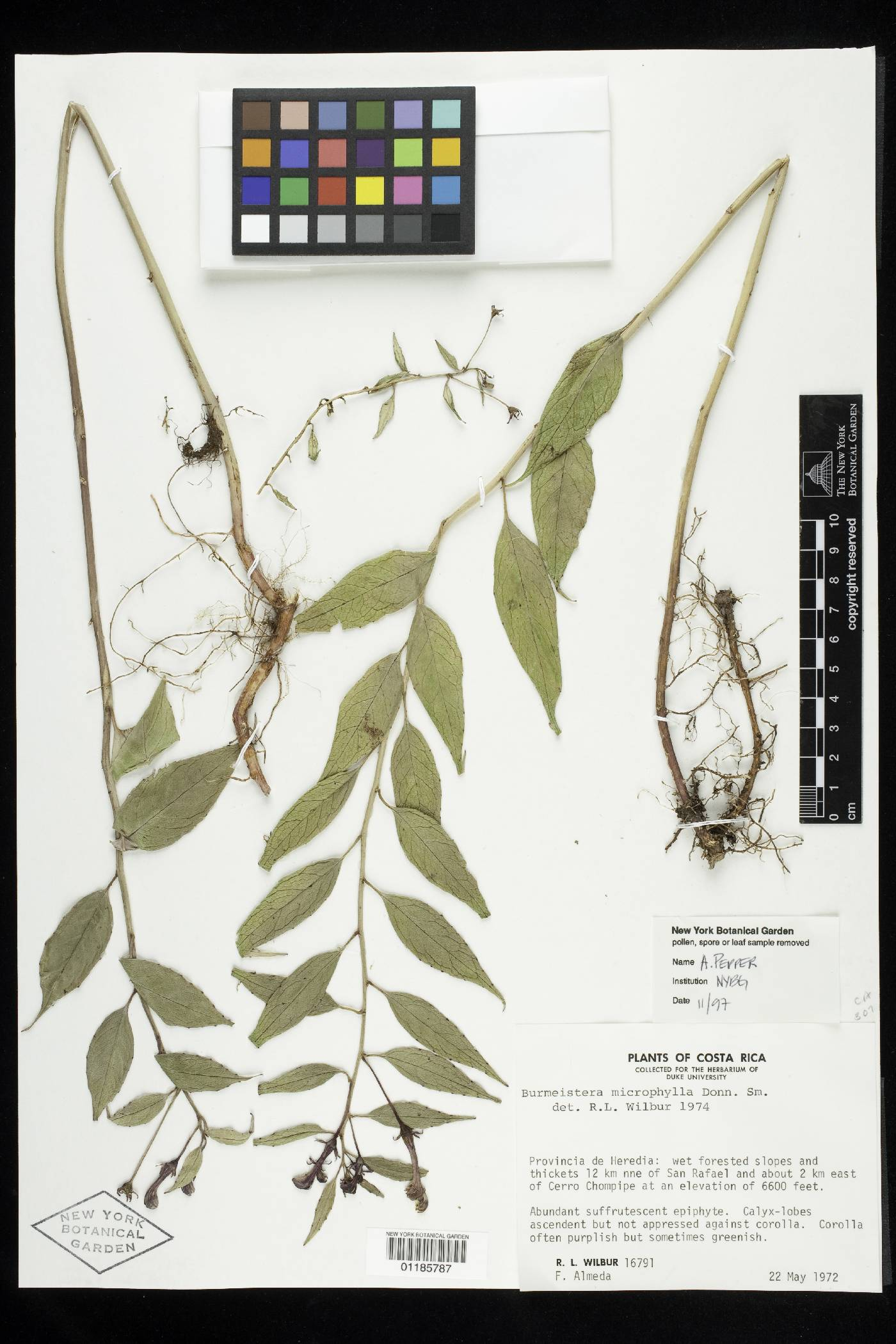 Burmeistera microphylla image