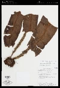 Elaphoglossum decoratum image