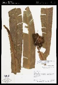 Elaphoglossum backhouseanum image