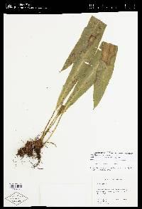 Elaphoglossum auripilum image