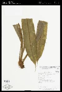 Elaphoglossum latum image