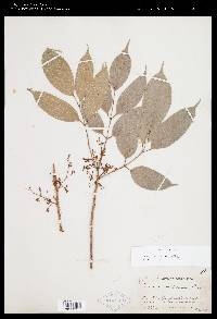 Protium costaricense image
