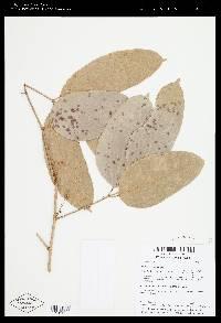Protium glabrum image