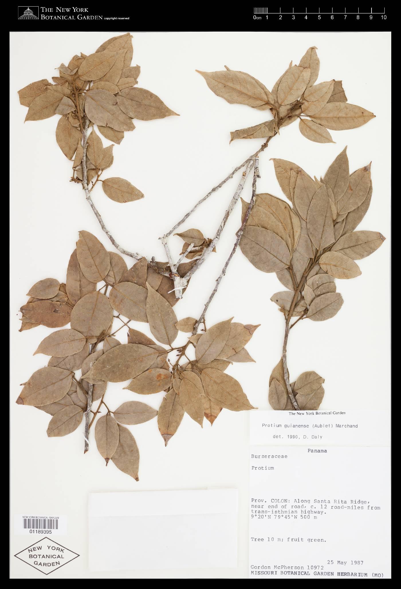 Protium guianense image
