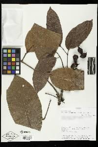 Protium panamense image