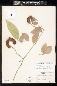 Pithecellobium hymenaeifolium image
