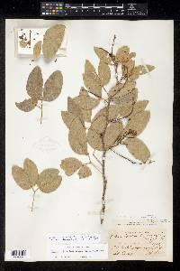 Pithecellobium lanceolatum image