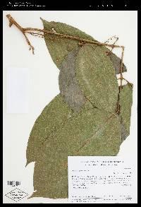 Protium pittieri image